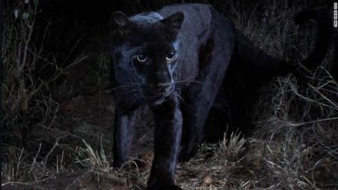 190212232845-rare-black-leopard-exlarge-169